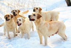 Five labradors retriever. Royalty Free Stock Photos