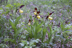 Five lady's-slipper orchids Stock Images