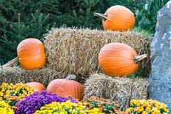 Five Large Orange Halloween Pumkins behind Colorful Mums stock image