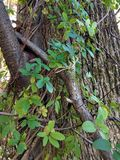 Chocolate vine climbs up a tree stock photography