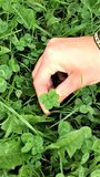 A five-leaf clover waiting to be picked up by a lucky hand Stock Image