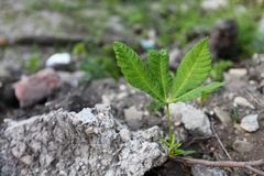 Five-leafs plant. Green five-leafs plant in stones Royalty Free Stock Photography