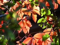 Five-leaved ivy (Parthenocissus quinquefolia) Stock Photography
