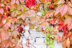 Five-leaved ivy Stock Photos