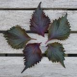 Five leaves of purple shiso perilla herb Royalty Free Stock Photo