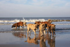 five leonbergers  in water Stock Photo