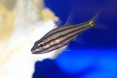 Five-lined cardinalfish Royalty Free Stock Image