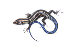 Five-lined Skink. Photograph of a lizard coiled on a pure white background Stock Images