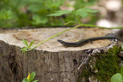 Five Lined Skink Royalty Free Stock Images
