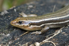 Five lined skink. A closeup of a five lined skink in Texas Stock Photography
