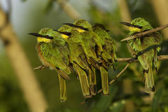 Five Little Bee-eaters. A group of 5 Little-Bee-eaters, huddled together for warmth in the early morning sun Royalty Free Stock Photo