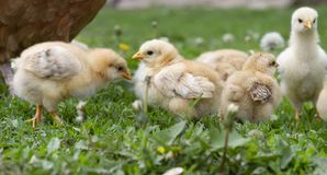 Five little cute chicks in green grass graze stock photo