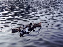 Five little ducks royalty free stock photo