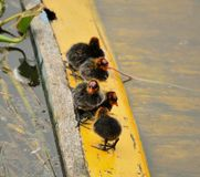 Five little ducks surviving on a yellow log in a lake. In summer, many species of duck are born, which causes some babies to be abandoned and temporarily stock images