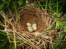Five little mottled eggs of forest birds are in beautiful made the nest Stock Image