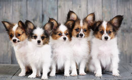 Five little puppy Royalty Free Stock Photo
