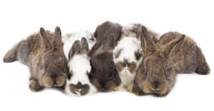 Five little rabbits Stock Images