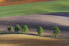 Free Five Lonely Trees On Wavy Fields, South Moravia Royalty Free Stock Photo - 95311485