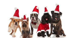 Five lovely dogs of different breeds wering santa costumes stock images