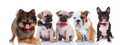 Five lovely dogs wearing elegant bowties stock photo