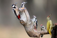 Five main species of European woodpeckers together in one photo. Can be used to identify different types of woodpeckers Royalty Free Stock Images