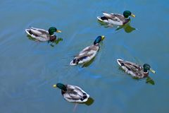 Five males mallard ducks anas platyrhynchos swimming on wate. R surface. Top view Stock Image