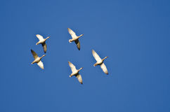 Five Mallard Ducks Flying in a Blue Sky Stock Images