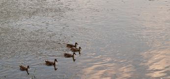 Five ducks on a river. Five mallard ducks swimming in the Allegheny River In Warren County, Pennsylvania, USA with room in the picture for added text Royalty Free Stock Photos