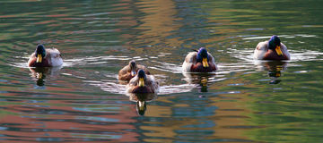 Five mallards. A convoy of five mallards swimming in the lake Royalty Free Stock Photos