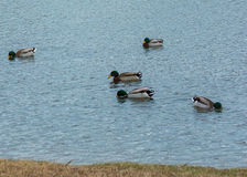FIVE MALLARDS FEEDING Royalty Free Stock Photography