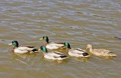 Five Mallards In Lake Royalty Free Stock Image