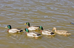 Five Mallards in Lake. Four male ducks and one femaile swimming across a lake Royalty Free Stock Image
