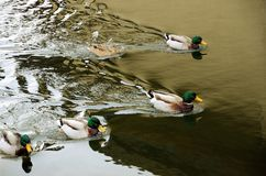 Close-up of the drakes and a duck in the water Stock Images