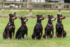 Five Manchester Terriers sitting in field. Five Manchester Terriers sitting in a row in a field looking to the right Royalty Free Stock Images
