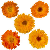 Five marigold flowers. Flower calendula yellow and orange colors isolated on white Stock Photos