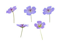 Five meadow cranesbill blue flowers isolated on white Royalty Free Stock Photography