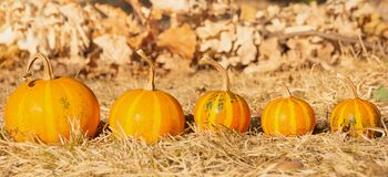 Free Five Mini Pumpkins Like A Family From Big To Small. Autumn Thanksgiving Festivity Background. Stock Photography - 197045322