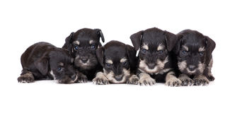 Five miniature schnauzer puppies Royalty Free Stock Image