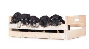 Five miniature schnauzer puppies. Miniature schnauzer puppies on white stock photos