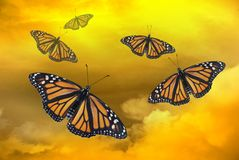Five Monarch Butterflies in the Sunset Stock Images
