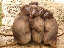 Five Monkey Huddled Together Outdoor during Daytime Royalty Free Stock Image