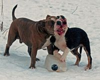Five month puppy and adult of Old English Bulldog, playing with a plastic canister. In winter landscape in snow in Sweden stock image