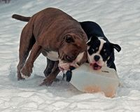 Five month puppy and adult of Old English Bulldog, playing with a plastic canister. In winter landscape in snow in Sweden stock photos