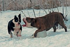Five month puppy and adult of Old English Bulldog, playing with a plastic canister. In winter landscape in snow in Sweden stock photo