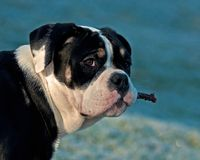 Five month puppy of Old English Bulldog, has a stick in her mouth. That she plays with. in Sweden royalty free stock photography