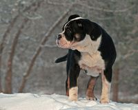 Five month puppy of Old English Bulldog, playing in winter landscape. In snow in Sweden royalty free stock image