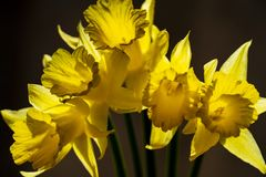 Five Narcissus against a dark background stock images