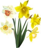 Five narcissus flowers isolated on white Stock Photo