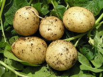 Five new potatoes, green background Stock Images