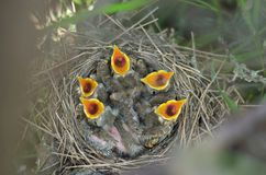 Five newborn baby birds of the Song Thrush with beaks wide open are asking for food. Five newborn baby birds of the Song Thrush Turdus Philomelos with beaks stock photography